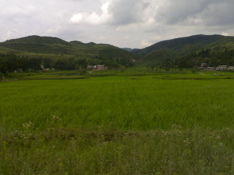 家乡的稻田